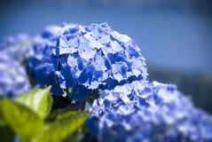 Blue Hydrangea. Macro Horizontal Photograph Stock Photography