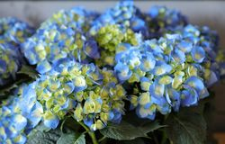 Blue hydrangea or Hydrangea macrophylla background. Horizontal. Close-up Stock Images