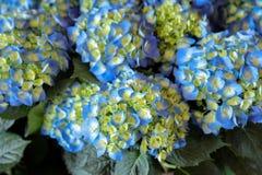 Blue hydrangea or Hydrangea macrophylla background. Horizontal. Close-up Stock Photography