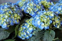 Blue hydrangea or Hydrangea macrophylla background. Horizontal. Close-up Stock Image