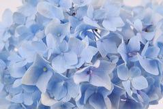 Blue hydrangea macrophylla Royalty Free Stock Photos