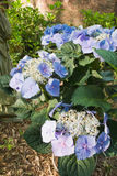 Blue Hydrangea Macrophylla Flower in a southern USA garden. Blue hydrangea macrophylla in the genus hydrangeaceae in a southern USa garden during the month of royalty free stock image