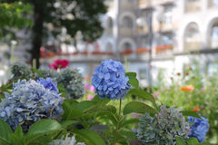 Blue hydrangea  macrophylla  flowers in spa park Royalty Free Stock Photography