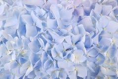 Blue hydrangea macrophyllous Stock Images