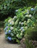 Blue hydrangea in park Royalty Free Stock Photos