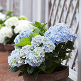 Blue hydrangea in the pot Royalty Free Stock Photo