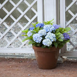 Blue hydrangea in the pot Royalty Free Stock Images