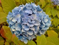 Blue Hydrangea After the Rain Royalty Free Stock Images