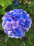 Blue Hydrangea. On a summer day in a garden royalty free stock images