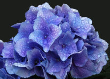 Blue Hydrangea Swathed in Raindrops. A blue hydrangea in mid-closeup shimmers beneath a layer of raindrops Royalty Free Stock Photo