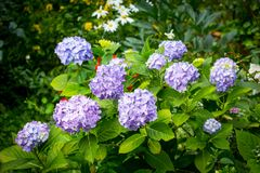 Blue hydrangea, white and pink petunia in the garden. Beautiful, Summer flowers in the home garden, blue hydrangeas and petunias Stock Photo