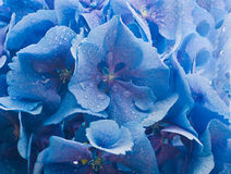 Blue hydrangeas Royalty Free Stock Images