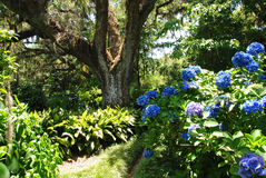 Blue hydrangeas blooming in the garden Stock Photos