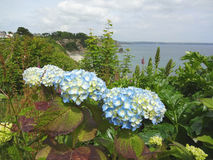 Blue hydrangeas on the cliff edge with a nice sea view. Coastal path blue hydrangeas amongst the greenery with background view of the sea and blue sky royalty free stock image