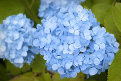 Blue Hydrangeas Royalty Free Stock Photography