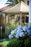Blue hydrangeas in garden