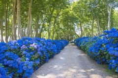 Alley of plane trees and blue hydrangeas. Blue hydrangeas and plane trees in the background stock photos