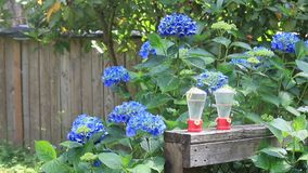 Hydrangeas near feeders under sprinkler. Blue hydrangeas sway around hummingbird feeders and under sprinklers stock footage
