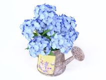 Blue Hydrangeas in a Watering-can Stock Image