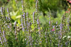 Blue hyssop Hyssopus officinalis. General view of group of flowering plants stock photography
