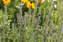 Blue hyssop Hyssopus officinalis. General view of group of flowering plants in garden stock image