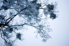 Blue icy branches Royalty Free Stock Photo