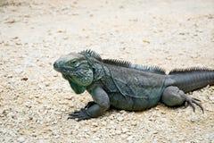 Blue iguana Royalty Free Stock Images