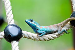 Blue iguana Royalty Free Stock Photography