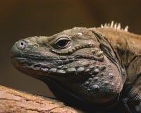 Blue Iguana. Head shot of a blue iguana with some background elements Stock Image