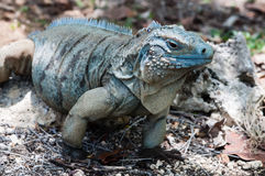 Blue Iguana Cayman Islands Royalty Free Stock Photos