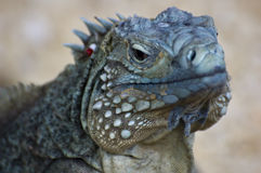 Blue Iguana (Cyclura lewisi) Stock Photography