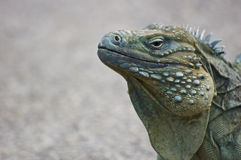 Blue Iguana (Cyclura lewisi) Stock Images