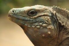Blue iguana (Cyclura lewisi) Royalty Free Stock Photo
