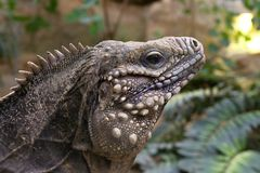 Blue iguana Royalty Free Stock Images