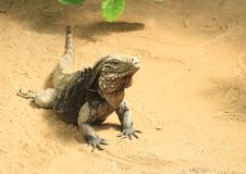 Blue iguana. Lazy blue iguana - Cyclura lewisi lying and having rest on sand stock images