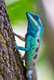 Blue iguana in the nature Stock Photo