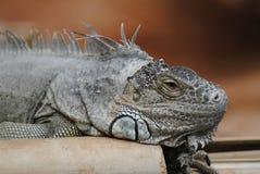 Blue Iguana. A portrait of a Blue Iguana lizard Stock Photo