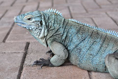 Blue iguana profile Stock Photos