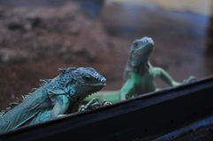 Blue iguanas in a terrarium Stock Images