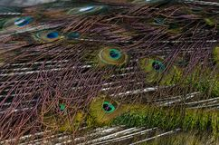 Blue indian peacock feathers closeup. Closeup of blue indian peacock feathers Royalty Free Stock Image