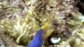 Blue interesting fish underwater in ocean of wildlife Philippines. stock video footage