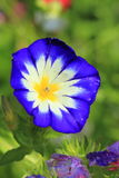 Blue ipomea. The detail of flowering blue ipomea royalty free stock photo