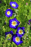 Blue ipomea flower. Blue, white And yellow ipomea flowers stock images