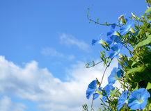 Blue ipomoea. Against the sky Stock Image