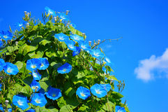 Blue ipomoea. Against the sky Royalty Free Stock Image