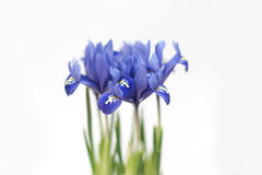 Blue iris Stock Images