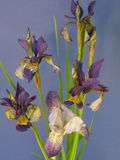 Blue iris Royalty Free Stock Image