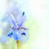Blue Iris. Beautiful flower border. Blue Iris Stock Image