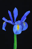 Blue iris. Royalty Free Stock Photography