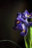 Blue iris. Iris flower on dark background Stock Images